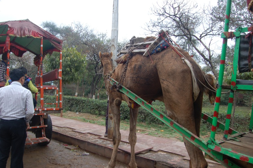 Some people choose to ride up to the old Mausoleum on a...camel? Much to my confusion